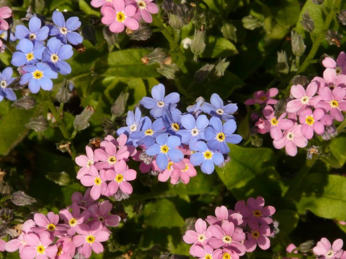 forget-me-not-52153_1280