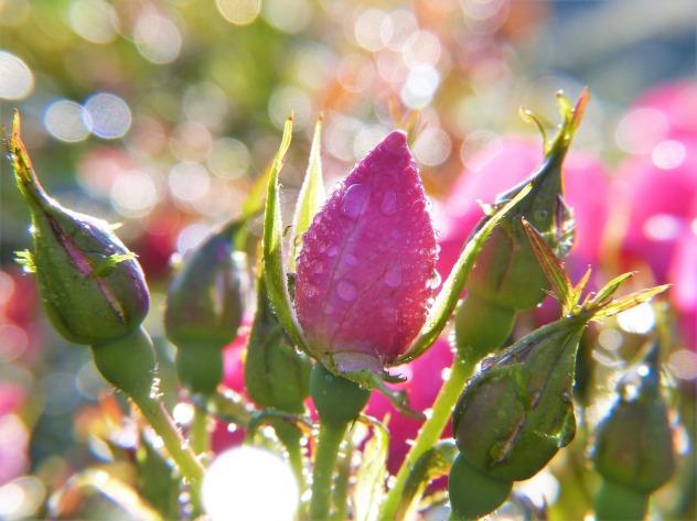 rose-2634493_1280